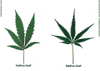 Know What Your Smoking? Difference Between Sativa and Indica