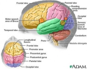 adhd brain 300x240 How Does THC React with the Brain