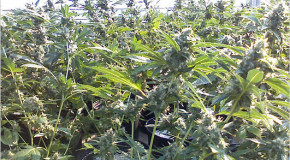 Police Return Marijuana Plants to Grower