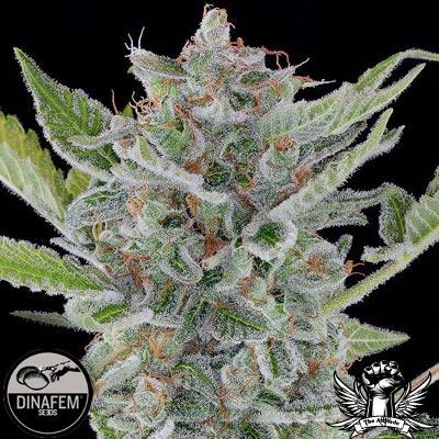 Dinafem-White-Widow-autoflowering