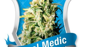 Royal Medic by Royal Queen Seeds