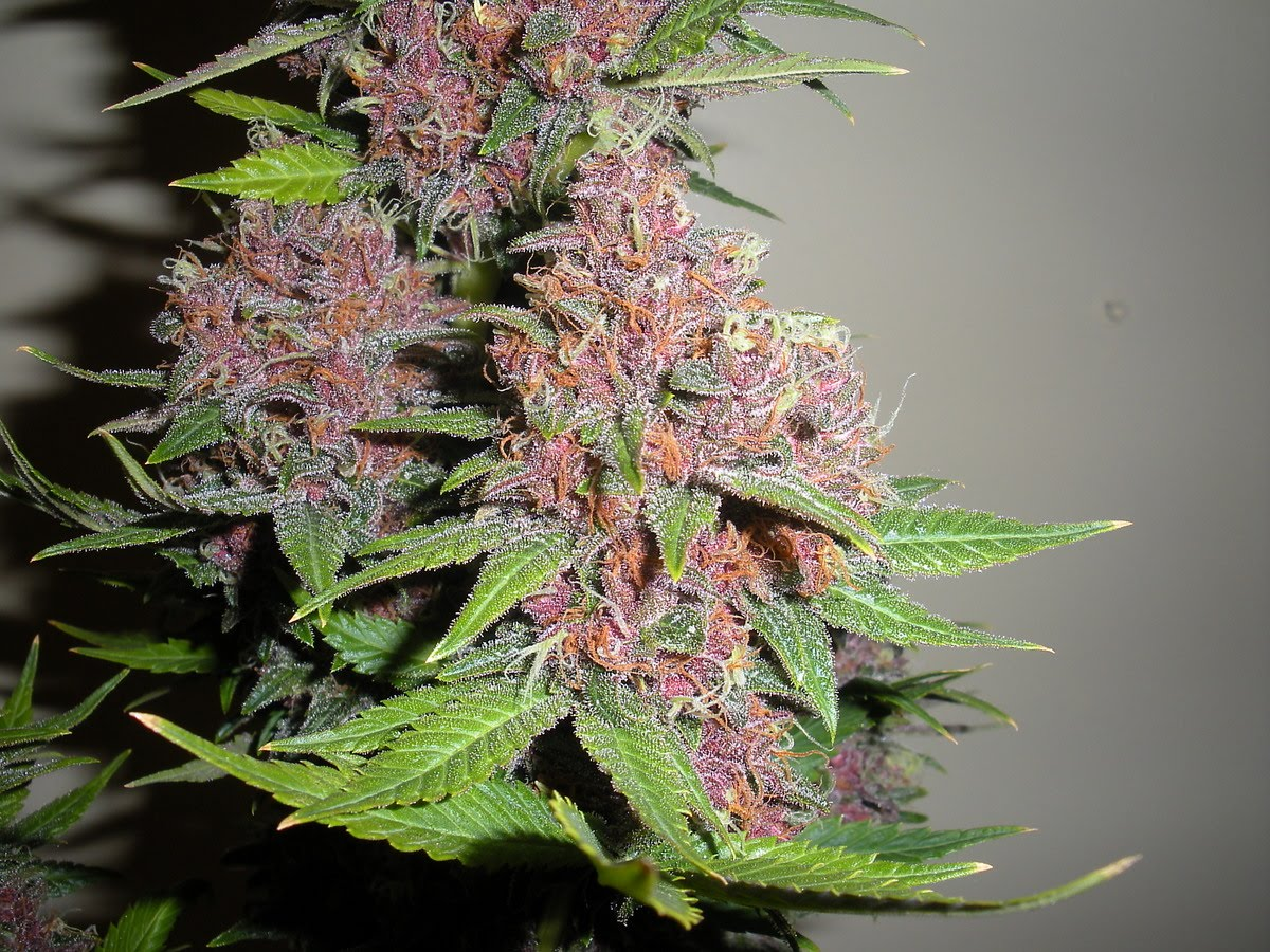 Purple_Marijuana_Bud